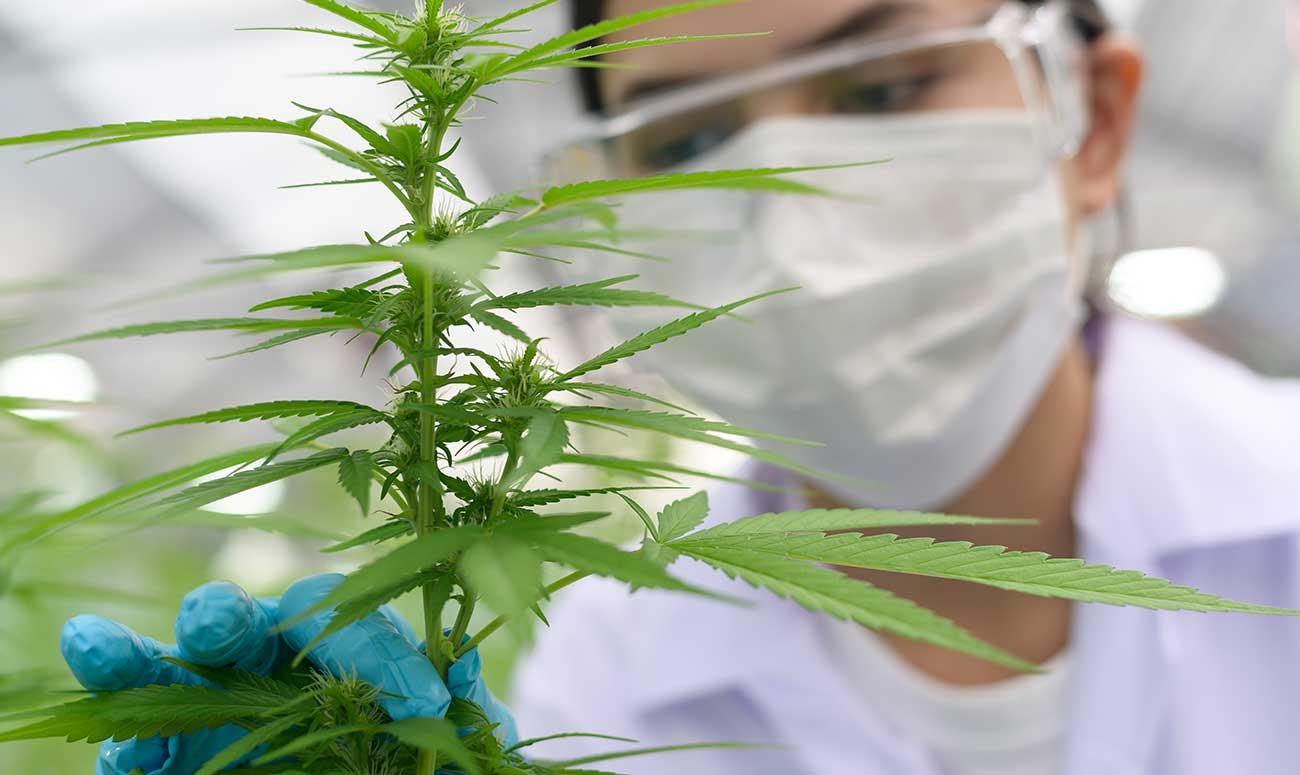 importación de cannabis medicinal