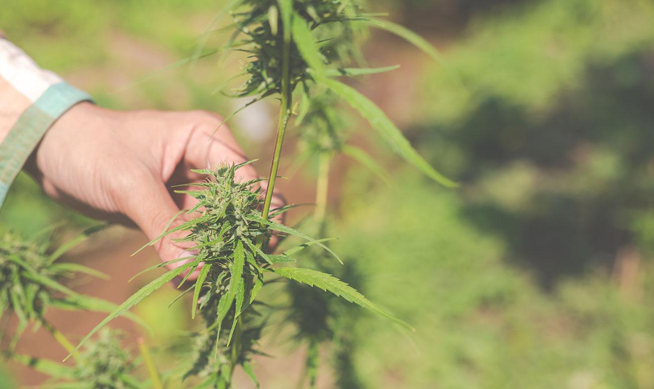 andorra definira modelo cultivo y procesamiento de cannabis medicinal